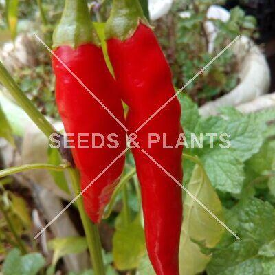 Uyababa Chilli Pepper Seeds