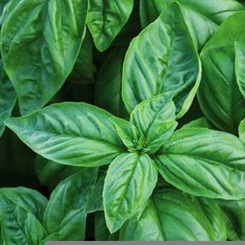 Sweet Large Leaved Basil