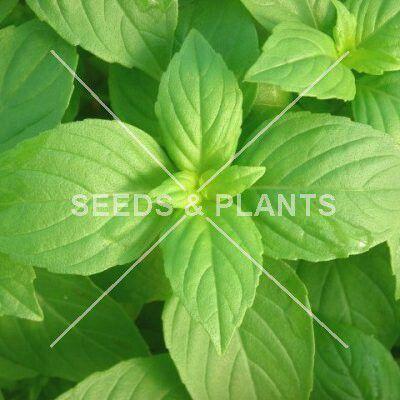 Basil Lemon Scented Seed