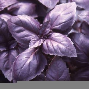 Basil Red Rubin Seed