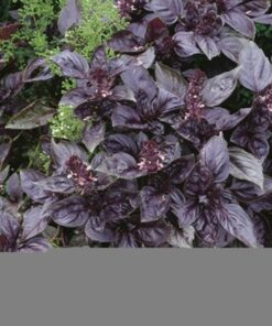 Red Rubin Basil  Seed
