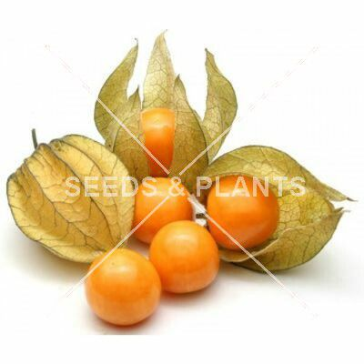 Cape Gooseberry Seeds