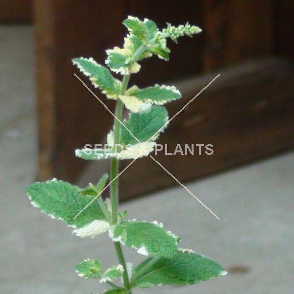 Pineapple Mint Plant