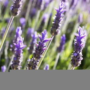 Royal Crown Lavender Seeds