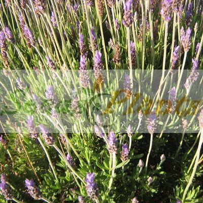 Lavender French Royal Crown Seeds