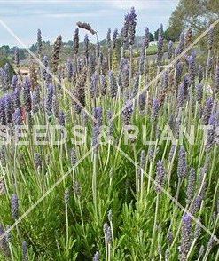Royal Crown Lavender Seeds