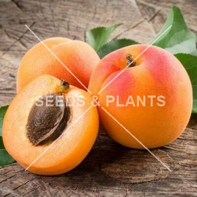 Apricot Super Gold Seeds