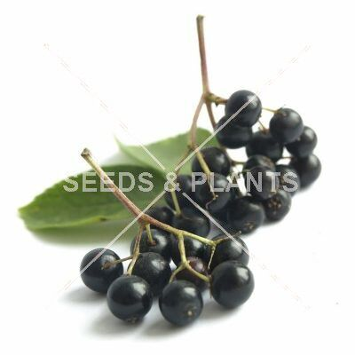 Black Elderberry Seeds