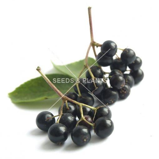 Black Elderberry Seeds