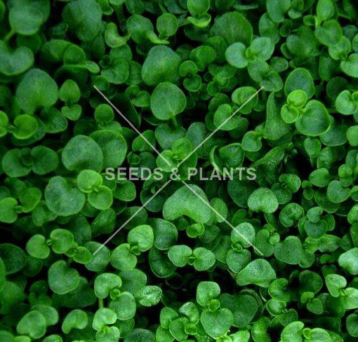 corsican mint seeds