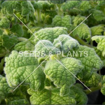 vicks plant seeds