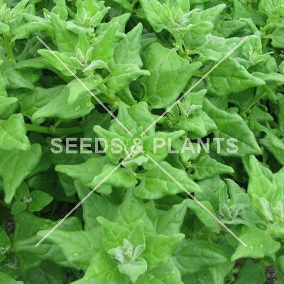 warrigal greens seeds