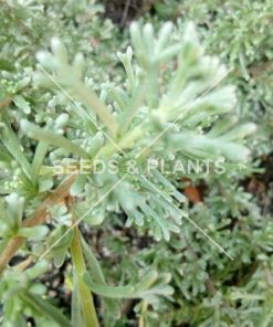 African Wild Rosemary