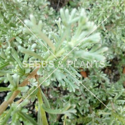 Medicinal Plant Seeds For Sale - Seeds and Plants | Online