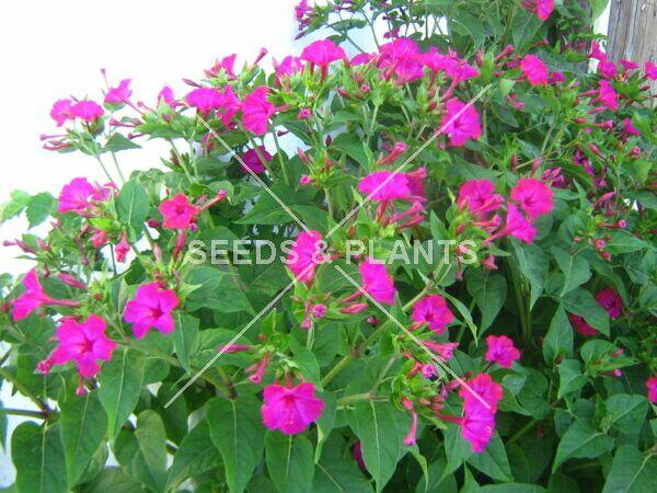 Magenta Mirabilis Jalapa Seeds