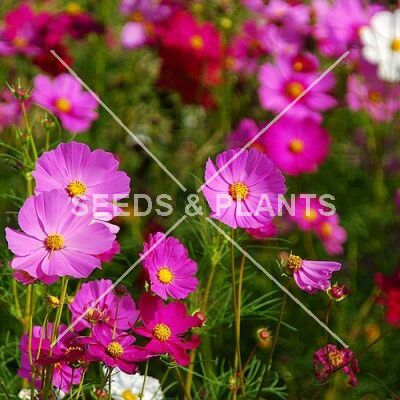 pink cosmos seeds