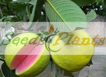Guava Tree Seeds