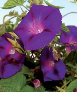 Morning Glory Purple seeds