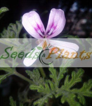 Pelargonium Radens Seeds
