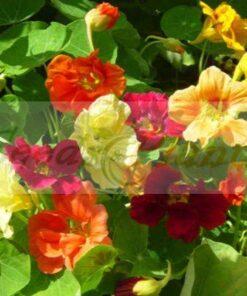 Nasturtium Jewel Choice seeds
