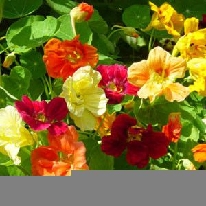 Nasturtium Jewel Choice seeds
