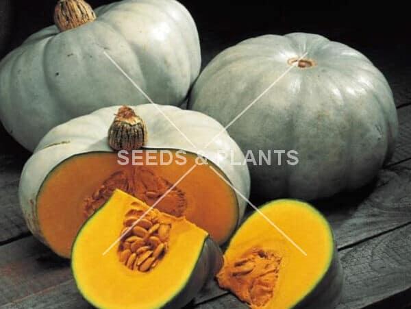 Nelson Hybrid Grey Pumpkin