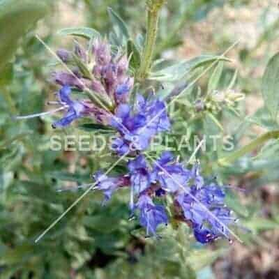 Hyssop Seeds