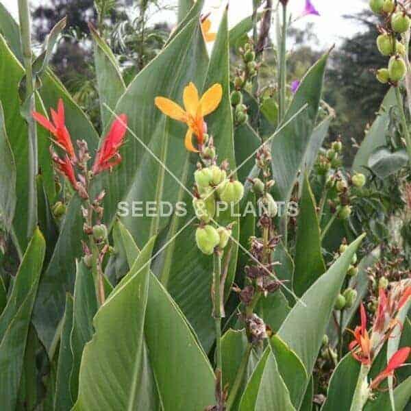 canna lily seeds