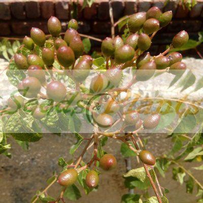curry leaf tree seeds