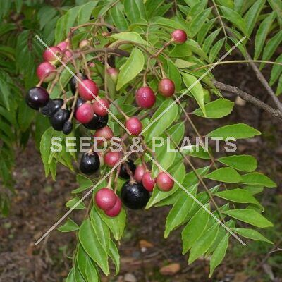 curry leaf tree seeds