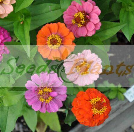 Seeds – Zinnia Thumbelina Dwarf
