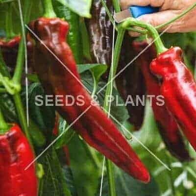 Sweet & Mild Pepper Seeds