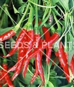 Thai Dragon Chilli