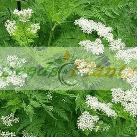 Anise (Pimpinella anisum) – Seeds