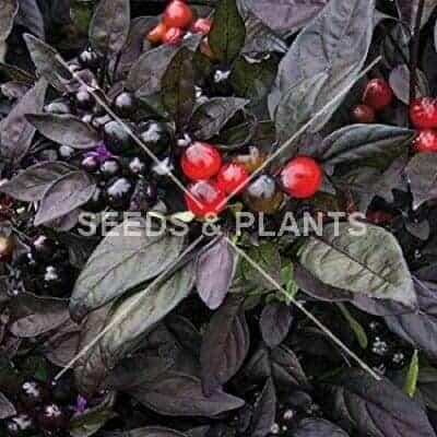 Black Pearl Chilli Pepper