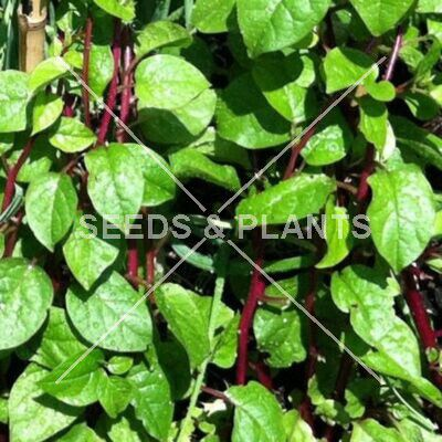 Red Malabar Spinach