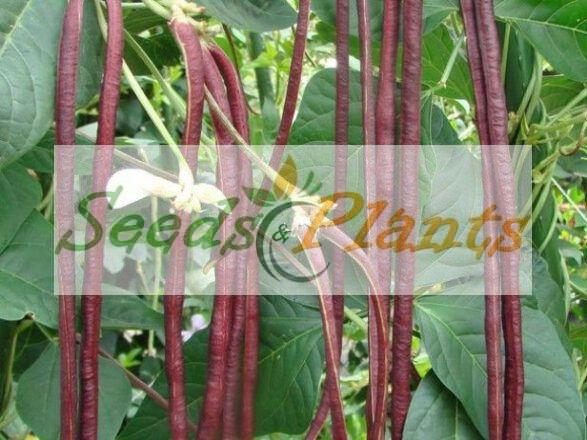 Red Noodle Yard Long Bean – Seeds