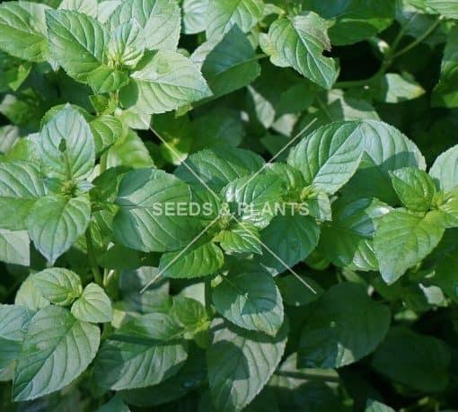 Basil Mint Plant