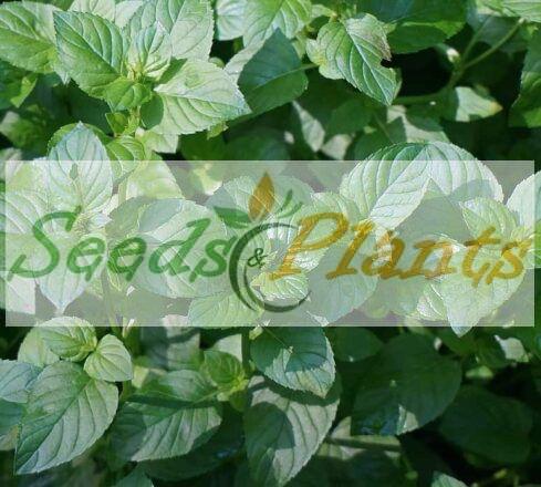 Basil Mint – Plant