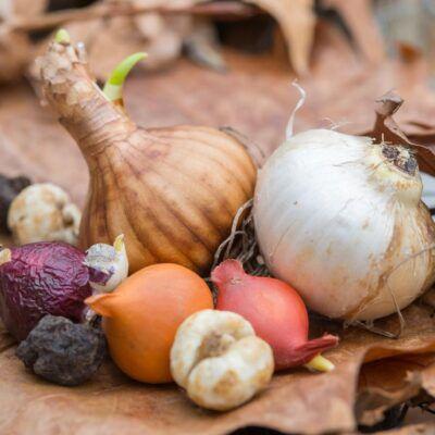 Bulbs & Rhizomes