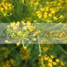 Dill (Anethum graveolens) – Seeds