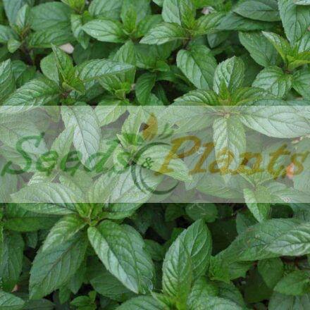 Peppermint – Plant