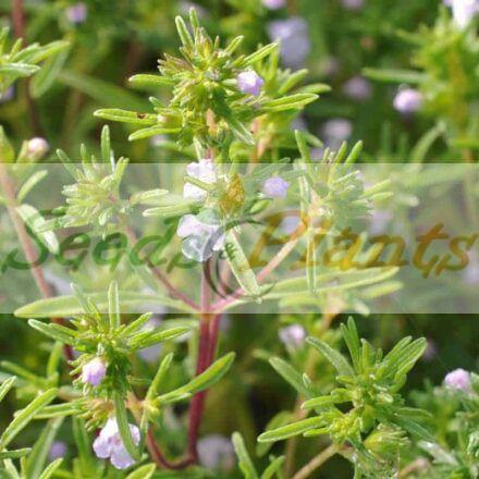 Summer Savory – Seeds