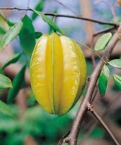 star fruit tree