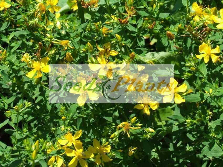 St.John's Wort – Seeds