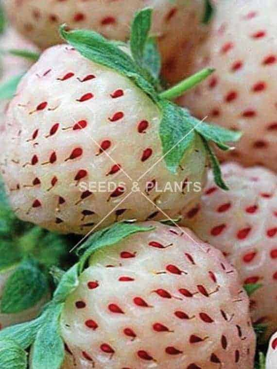 Fruit Seeds For Sale Online Fruit Seed Store South Africa