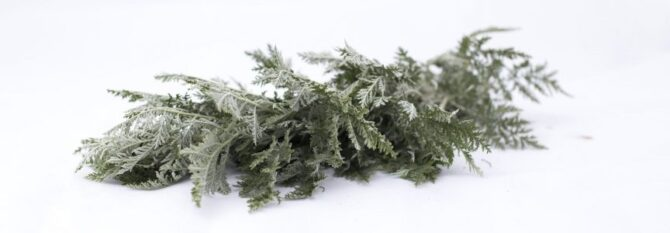 African Wormwood Medicinal Uses