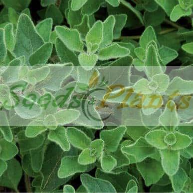 greek origano seeds