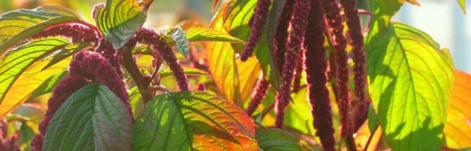How to grow amaranth