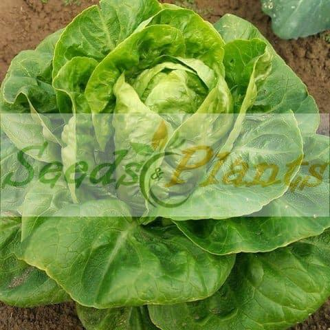 Little Gem Lettuce Seeds